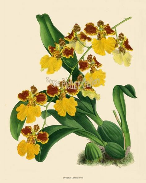 Fine art print of the Orchid Oncidium Larkinianum by John Nugent Fitch